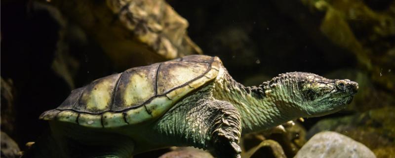 龟吃肉好还是龟粮好,怎么给龟喂食