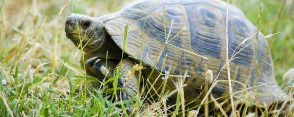 陆龟怎么分辨公母,陆龟怎么繁殖