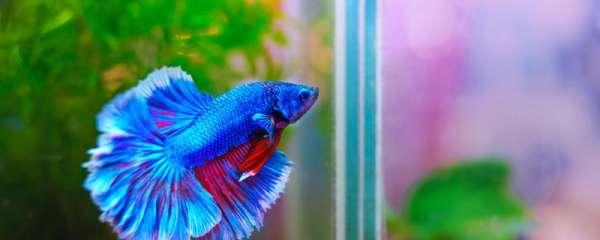 孔雀鱼是斗鱼的一种吗,能一起养吗