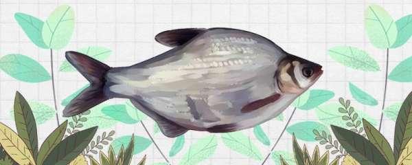 秋季能钓鳊鱼吗,如何钓
