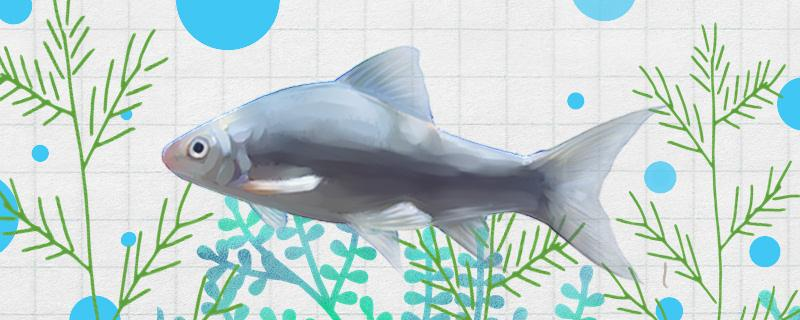 野钓土鲮鱼钓多深水,用什么饵料