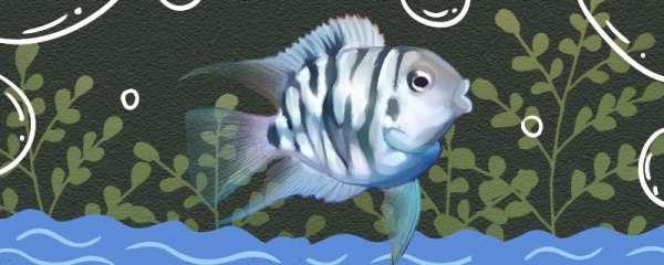 迷你鹦鹉鱼一天喂几次合适,喂什么食物合适