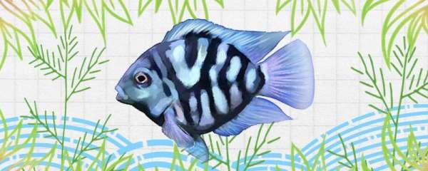 迷你鹦鹉鱼怎么养着养着就死了,怎么才能减少死亡