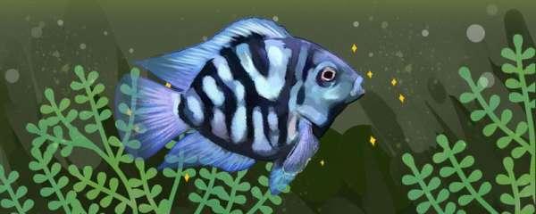 神仙鱼可以和迷你鹦鹉鱼混养吗,混养要注意什么