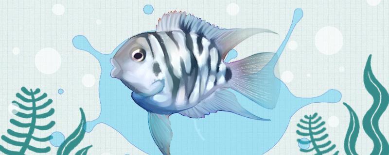迷你鹦鹉鱼产卵了怎么办,怎么繁殖