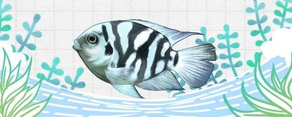 迷你鹦鹉鱼喂食的正确方法,饲养的正确方法