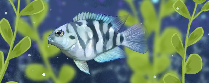迷你鹦鹉鱼需要打氧吗,需要开灯吗